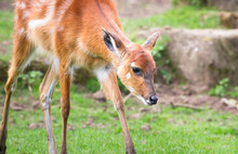 A Baby Sitatunga Antelope (also Caled A Marshbuck Antelope, Tragelaphus Spekii) Walking In A Grassy Field.