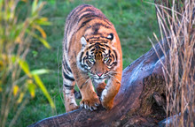 A Sumatran Tiger (Panthera Tigris Sumatrae) Walking Towards The Camera.