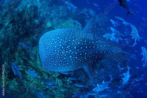 Poster Coral reefs Whale Shark swims over coral reef