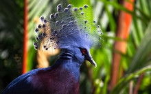 A Victoria Crowned Pigeon (Goura Victoria) Displays Its Feathered Head Crest.