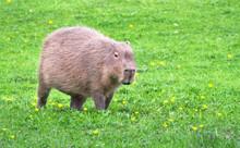 A Capybara (Hydrochoerus Hydrochaeris) Walks Across A Grassy Field.
