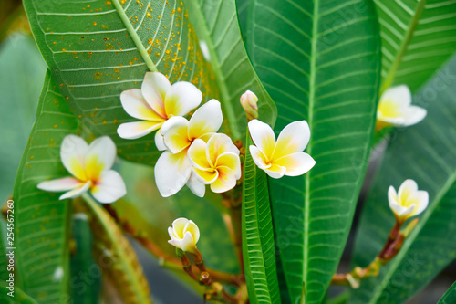 Exotic Rare Colorful Tropical Flower Frangipani Flower Close Up