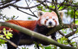 An adult red panda (Ailurus fulgens) rests in a tree on a sunny day.