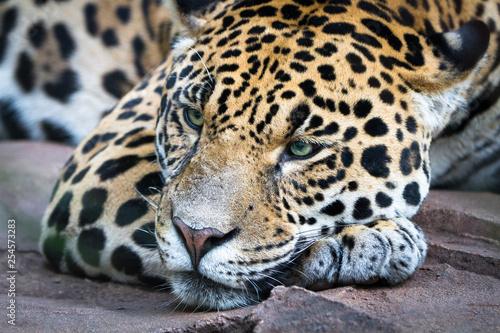 Fotografía An adult jaguar (Panthera onca) rests lazily on a large rock.