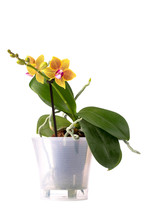 Bush Dwarf Phalaenopsis Orchid In A Pot On A White Background