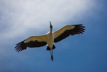 Wood Stork Flying Over A Swamp...