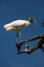 Wood Stork Perched On A Branch...