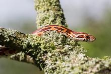 Kopf Und Vorderkörper Einer Jungen Kletternden Kornnatter In Der Seitenansicht Im Baum