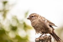 Common House Sparrow Bird Fema...