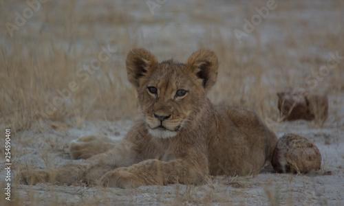 Fototapeta Löwin in der Savanne vom in Zimbabwe, Südafrika obraz na płótnie