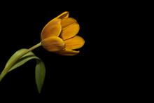 Tulip Orange Flower Black Background