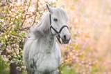 Fototapeta Konie - White horse portrait in spring pink blossom tree