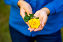 Yellow Rose In Female Hands