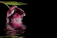 Tulip Magenta Black Background...