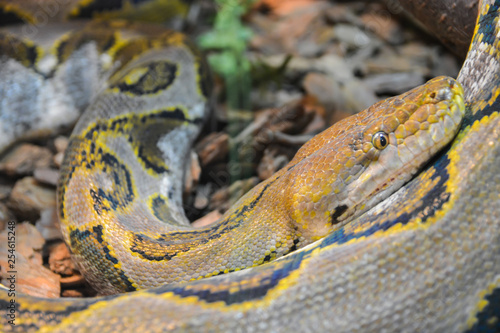 Fotografering  Close up yellow python. Soft selective focus. Boa snake.