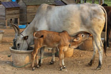 Cow Feeding Its Calf And Cow E...