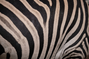 Close up of patterned stripes on the back of a Zebra.  Focus on the body, with ondulated texture