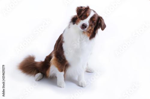 Fototapeta Australian shepherd dog sitting on white background obraz na płótnie
