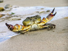 Live Crab On A Tropical Beach. Crab Hiding In The Sand At High Tide