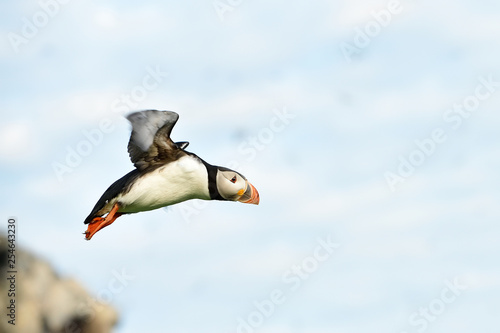 Fotografia  Puffin in flight. Puffin takeoff.