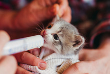 The Little Kitten Is Fed Milk From A Syringe.