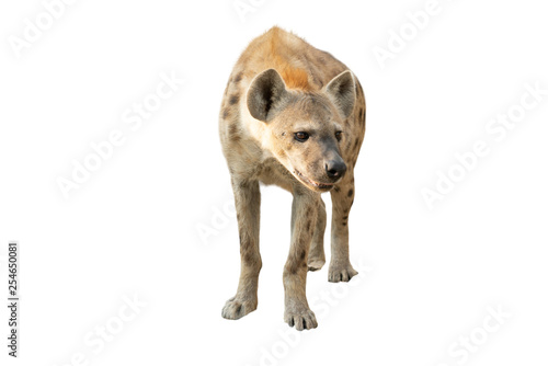 Tablou Canvas spotted hyena isolated