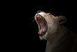 female white lion yawn