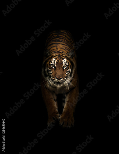 Photo sur Toile Tigre bengal tiger in the dark