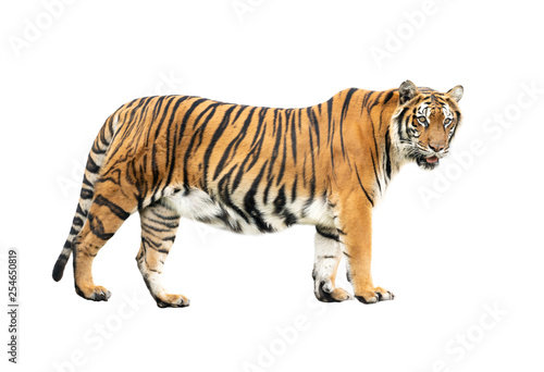 Canvas Print bengal tiger isolated