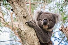 Wild Koala Sitting On A Tree