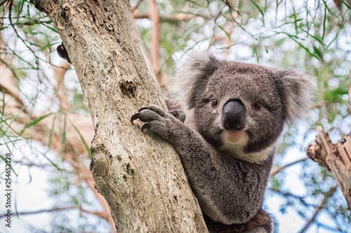 Tuinposter Koala Wild koala sitting on a tree