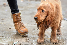 Sad Dog Stands On The Ground I...