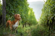Dog In Grape Trees. Pet On Nature. Cute Nova Scotia Duck Tolling Retriever, Toller