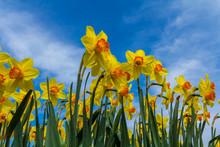 Golden Yellow Dutch Daffodil F...