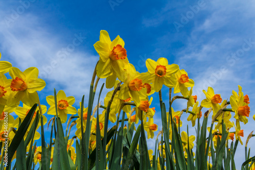 Golden yellow dutch daffodil flowers close up low angle of view with blue sky background