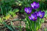 Close-up of violet crocuses Ruby Giant on natural background. Soft selective focus. Spring theme for design.