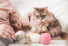 Closeup Of Fluffy Cat With Col...