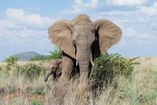 Baby Elephant Hiding Behind Mo...
