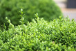 Beautiful green background for your design. Bushes with small leaves. Stock photo