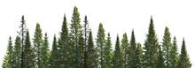 Dark Green Straight Pine Trees...