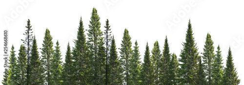 dark green straight pine trees on white - 254668610