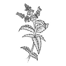 Mint Spearmint Plant Sketch Engraving Vector Illustration. Scratch Board Style Imitation. Black And White Hand Drawn Image.