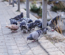 Flock Of Pigeons In Nature In ...