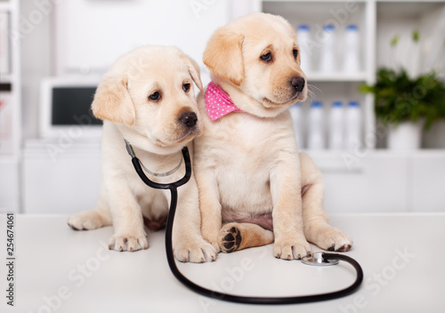 Photo Two cute labrador puppy dogs sit on examination table at the veterinary doctor o