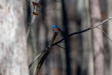 Eastern Bluebird (Sialia Sialis) Perching In Tree In Southeastern Michigan, USA.