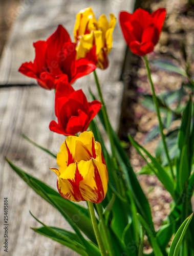 Photo  red and yellow tulips in the garden