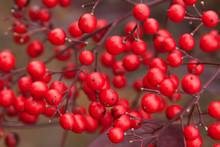 Winterberry Ilex
