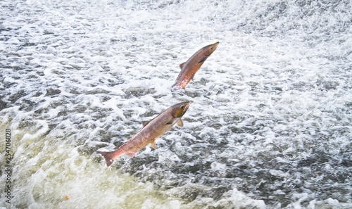 Fotografia  A pair of Atlantic salmon (Salmo salar) jumps out of the water at the Shrewsbury Weir on the River Severn in an attempt to move upstream to spawn