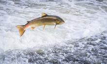 An Atlantic Salmon (Salmo Sala...