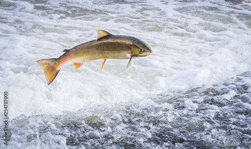 Foto An Atlantic salmon (Salmo salar) jumps out of the water at the Shrewsbury Weir on the River Severn in an attempt to move upstream to spawn